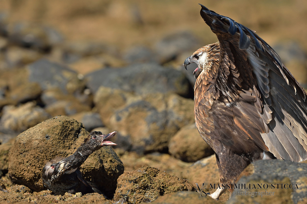 The Madagascan fish eagle (Haliaeetus vociferoides) or Madagascar sea-eagle (to distinguish it from the Ichthyophaga fishing-eagles) is a large bird of prey in the family Accipitridae which also includes many other diurnal raptors such as kites, buzzards and harriers. The range of this eagle is within the Madagascar dry deciduous forests. It is a medium-sized sea eagle, 60&ndash;66 cm (24&ndash;26 in) long and with a wingspan of 165&ndash;180 cm (65&ndash;71 in).<br /> Its closest relative is the African fish eagle, Haliaeetus vocifer. Together, they form a distinct species pair lineage of sea-eagles, which separated soon after the divergence of the genus; they retain the ancestral dark beak, talon, and eye, but unlike other Haliaeetus species, they always have at least partially white tails, even while juvenile. As in other sea-eagle species pairs, one species (the Madagascan fish eagle in this case) has a tan head, while the other has a white one.
