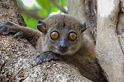 aye-aye (Daubentonia madagascariensis) Photographed in Madagascar