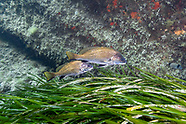 Brown meagre fish-Corb commun (Sciaena umbra)