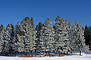 A grove of ponderosa pines covered by windblown ice on a sunny blue day.  North Idaho College Beach, Coeur D Alene, Idaho. PLEASE CONTACT US FOR DIGITAL DOWNLOAD AND PRICING.