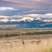 white tail bucks on the national bison range, montana