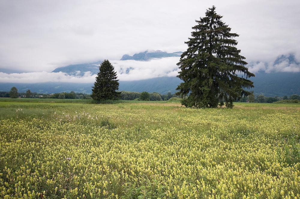Rhinanthus alectorolophus; Eurepean Yellowrattle; Ruggellerriet, Liechtenstein
