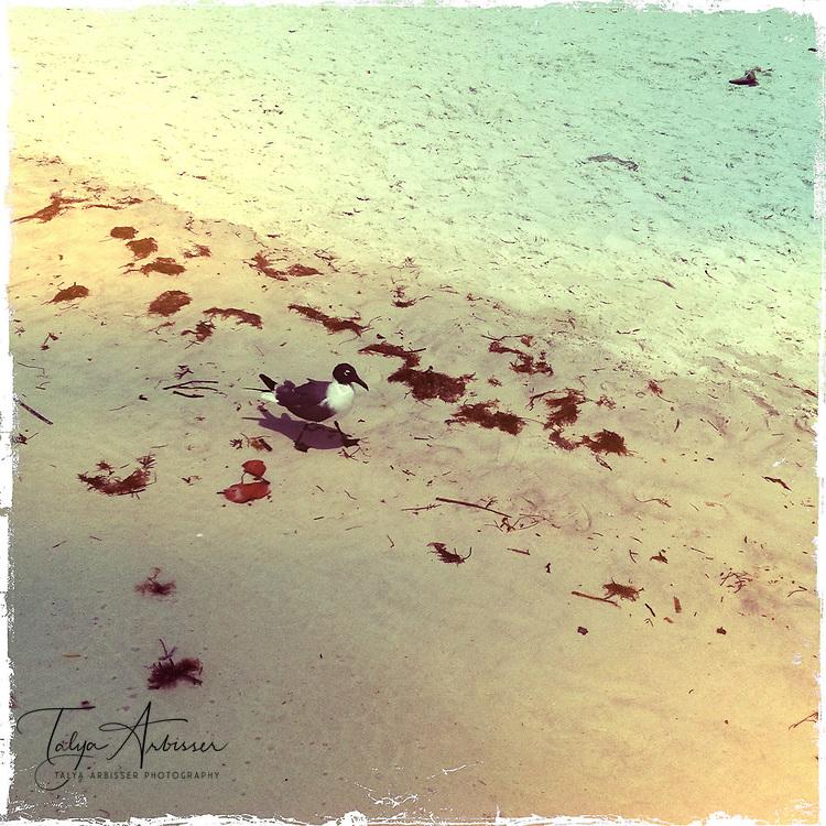 Seagull - Siesta Key, Florida