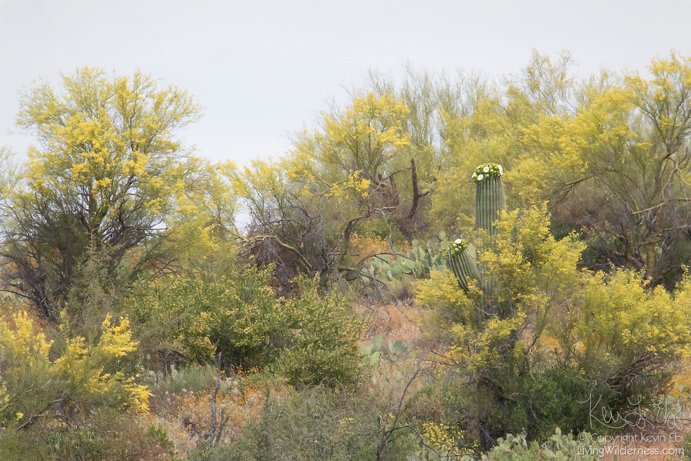 Two types of cacti — saguaro and prickly pear — grow among mesquite in the Sonoran Desert near Superior, Arizona.