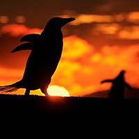 Gentoo silhouette, the Neck, Falkland Islands, 2017
