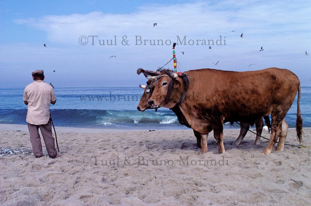Cow at the beach - Furaduro - Portugal