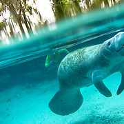A snorkeler approaches a manatees at Three Sisters Spring in the Crystal River National Wildlife Refuge. The refuge is one of the only places where people are allowed to interact with manatees, but there are major concerns that this may be harmful to the mammals which seek shelter in the constant 72 degree spring waters during winter months. This underwater photograph was taken in the presence of Fish & Wildlife monitors, please do not attempt to approach any wild animal.