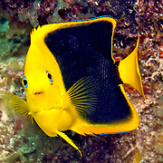 Rock Beaudy juveniles inhabit reefs and surrounding areas, usually hiding in recesses in reef in Tropical West Atlantic; picture taken Key Largo, FL.
