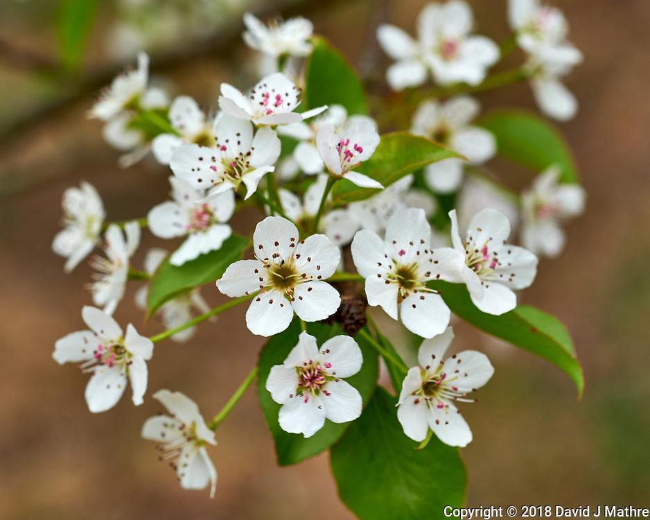 Pear (?) Tree Flowers. Image taken with a Fuji X-H1 camera and 60 mm f/2.4 macro lens (ISO 200, 60 mm, f/5.6, 1/60sec).
