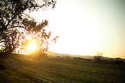 Sun sets on a vineyard near Santa Rosa, California.