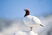 Alaska. Denali NP. Rock Ptarmigan (Lagopus mutus), winter plumage.