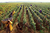 Grape harvest between Vosne Romanée and  Nuits St. Georges, in The Côte d'Or, center for some of the great Burgundy wines.