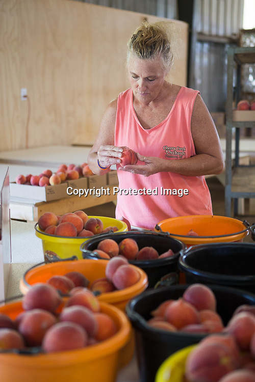 Judy Acevedo checks over a peach as she sorts them into 5, 10 and 25 pound boxes at Cherry Creek Orchard in Pontotoc.