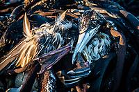 Dead Cape gannet amongst beach detritus, Agulhas National Park, Western Cape, South Africa