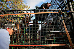 ROMANIA ONESTI 26OCT12 - Captive Eurasian brown bears are coaxed into a transport cage by tempting them with food at the Onesti zoo. The zoo  has been shut down due to non-adherence with EU regulations on the welfare of animals.....jre/Photo by Jiri Rezac / WSPA....© Jiri Rezac 2012