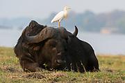 Buffalo (Syncerus caffer) and western cattle egret (Bubulcus ibis), Chobe National Park, Botswana.