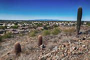 Barrel cacti overlooking the city of Phoenix, Arizona, USA