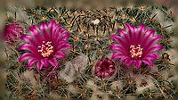 Small barrel cactus flowers. Composite of 33 focus stacked images taken with a Nikon Df camera and 105 mm f/2.8 VR macro lens and TCE III 2x teleconverter (ISO 100, 105 mm, f/4, 1/125 sec) and SB-910 flash (EV -2). Images processed using Helicon Focus - Method A (weighted average, R = 8, S = 4).