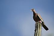 Bare-eyed Pigeon (Patagioenas corensis) on Cactus<br /> BONAIRE, Netherlands Antilles, Caribbean<br /> HABITAT & DISTRIBUTION: Subtropical or tropical dry forests and subtropical or tropical dry shrubland. Bonaire, Aruba, Netherlands Antilles, Colombia and Venezuela.