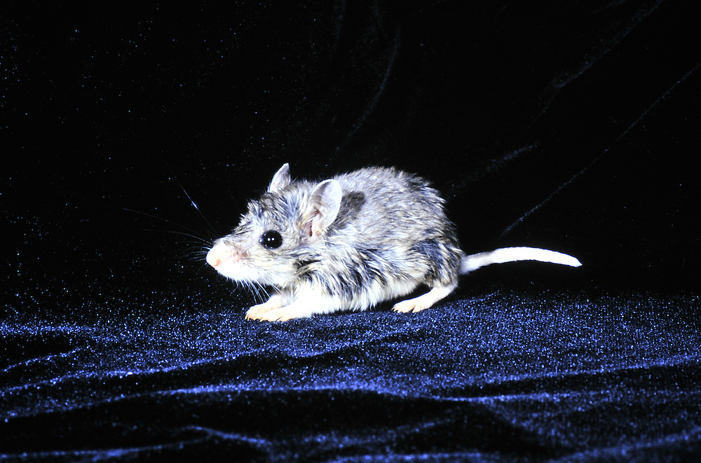 A carnivorous mouse from the Colorado<br /> plains. Colorado