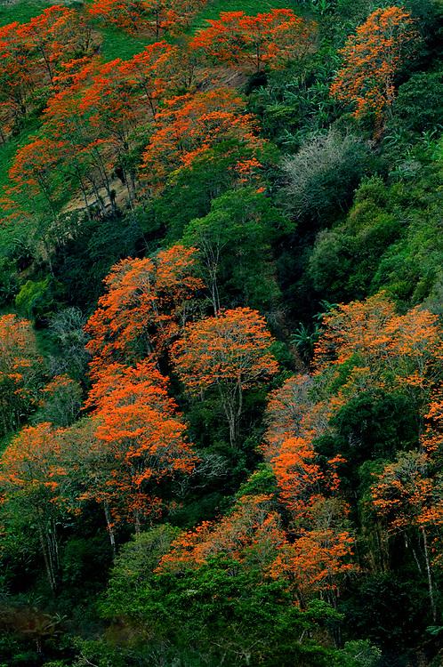 Costa Rica / Orosi Valley / Flowering Orange Poro Trees