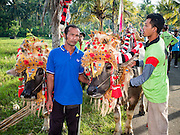 09 OCTOBER 2016 - JEMBRANA, BALI, INDONESIA: A man holds his racing buffalo prepare a makepung (buffalo race) in Tuwed, Jembrana. Makepung is buffalo racing in the district of Jembrana, on the west end of Bali. The Makepung season starts in July and ends in November. A man sitting in a small cart drives a pair of buffalo bulls around a track cut through rice fields in the district. It's a popular local past time that draws spectators from across western Bali.     PHOTO BY JACK KURTZ
