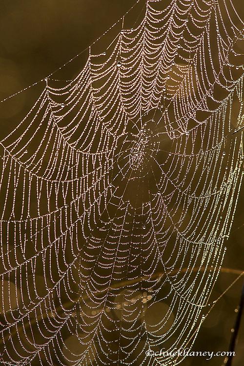 Dewy backlit spider web in Everglades National Park, Florida, USA