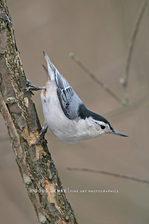 White Breasted Nuthatch, In A Typical Stance, Sitta carolinensis