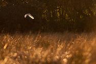 Barn Owl (Tyto alba) adult hunting over grazing marsh at dusk, Norfolk, UK.