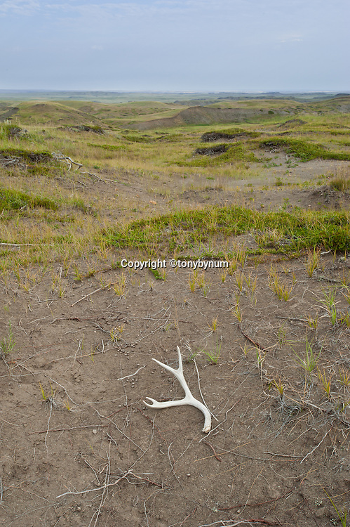 deer antler on montana prairie, native short grass prairie, wild prairie, montana,