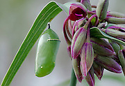 Monarch Chrysalis.  This is a stacked multiple focal point image so the entire beautiful chrysalis can be seen clearly.