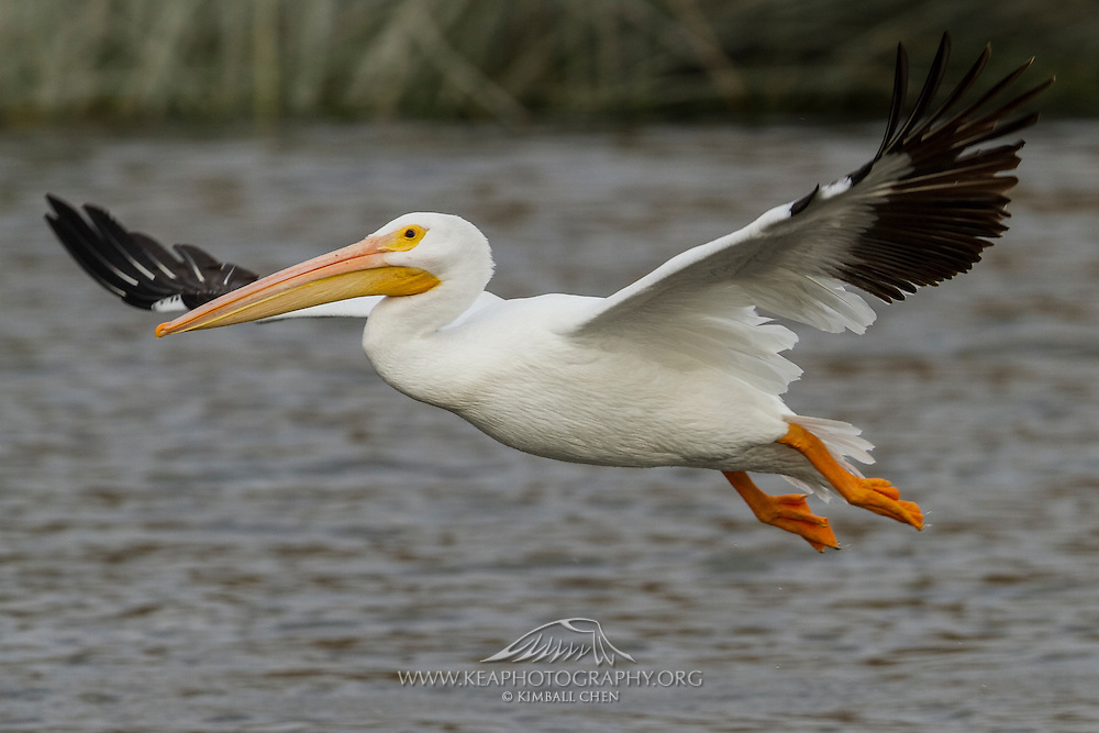 What is the wingspan of the American White Pelican?  It is approximately 9 feet long, making it second behind the California Condor!  Large webbed feet make the pelican a strong swimmer.