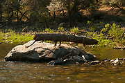 Log stuck on rock from high water. Middle Fork of the Salmon River, Idaho.