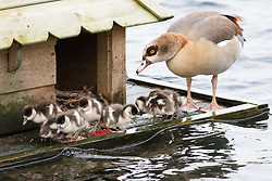 © Licensed to London News Pictures. 30/12/2017. London, UK. Tiny Egyptian goose goslings are seen on open waters in Rotherhithe, south east London. The three day old chicks are being looked after by both Egyptian goose parents, who are taking shelter in a duck house and platform setup by local conservation group, the Friends of Russia Dock Woodland in 2016. Egyptian geese normally lay eggs in late spring, which hatch after 28-30 incubation. The three day old goslings may be another sign of early spring, caused by mild temperatures and weather this November. Photo credit: Vickie Flores/LNP