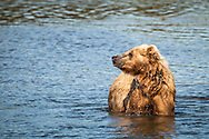 Searching for Salmon - Brown Bear - Alaska: Brooks Falls is one of the best places in the world to watch brown bears because it is one of the first streams in the region where bright, energetic, and pre-spawned salmon are available to bears. In July, most salmon are moving through large rivers and lakes where bears cannot successfully fish. Early in the salmon run, Brooks Falls creates a temporary barrier to migrating salmon. This results in a particularly successful fishing spot for bears. Once salmon stop migrating in large numbers, Brooks Falls is no longer a good place to fish and bears quickly abandon that spot for better fishing elsewhere.