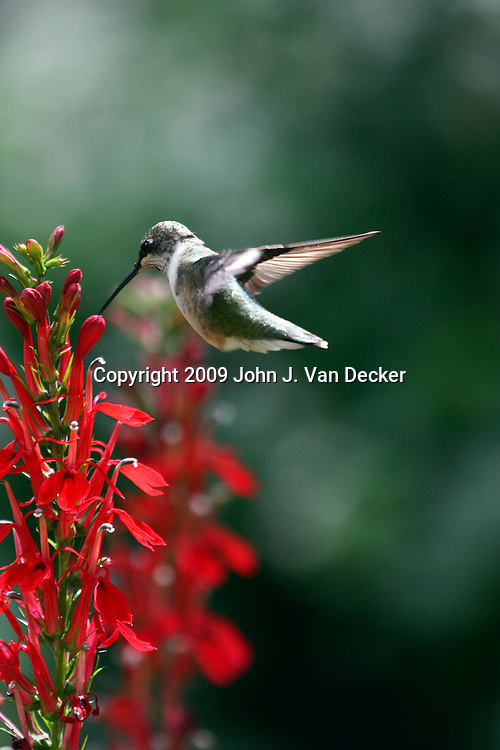 Ruby-throated Hummingbird hovering near red cardinal flowers