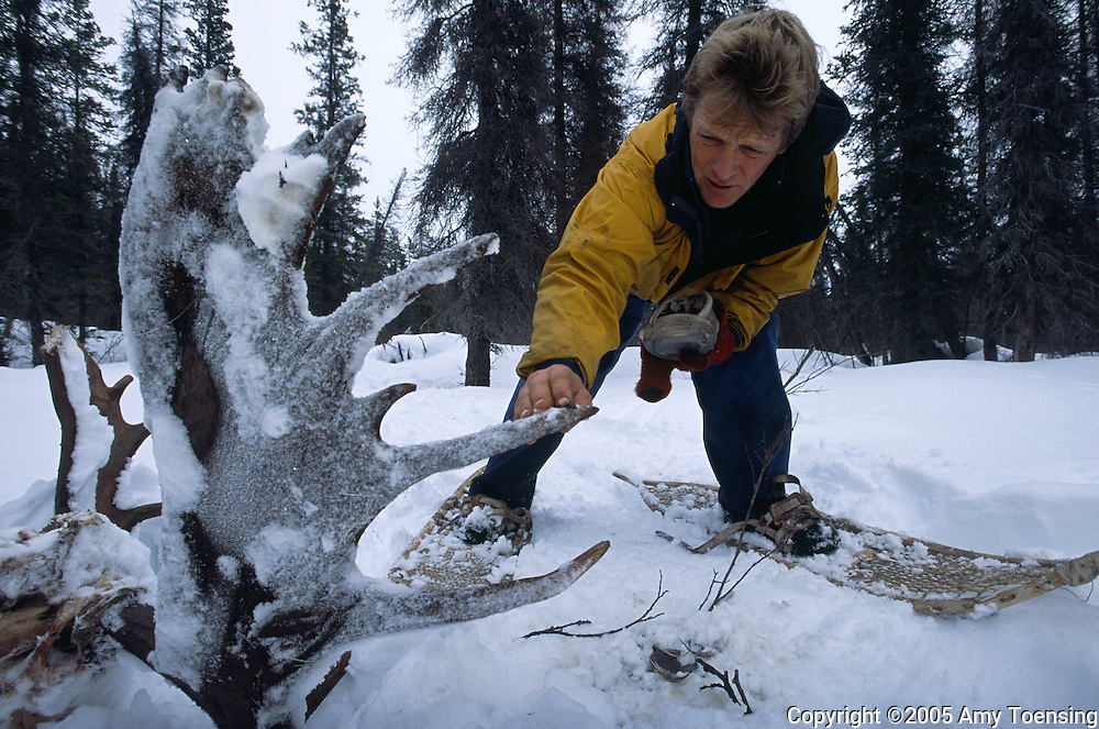 HAINES JUNCTION, BC- MARCH 01: Canadian trapper Lance Goodwin smears lynx bait on moose antlers to bring a lynx to his trap March 10, 2005 in Haines Junction, British Columbia. In 1999 the Colorado Division of Wildlife (CDOW) began a lynx reintroduction program, trapping the animals in Canada and bringing them to Colorado. The goal is to re-establish the lynx population in the state, which has been nonexistent since the 1970s, to a viable level where the population that can sustain itself. The program has brought in 204 lynx between 1999 and 2005. There have been 71 known deaths, and 101 kittens born. The program is considered widely as a success, however the program has also instigated controversy protests from animal rights groups and developers. (Photo by Amy Toensing) _________________________________<br /> <br /> For stock or print inquires, please email us at studio@moyer-toensing.com.