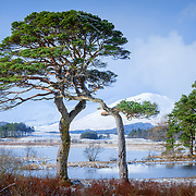 The venerable pines that stand proud by the banks of Loch Tulla with Winters blanket covering all to Black Mount in the distance.