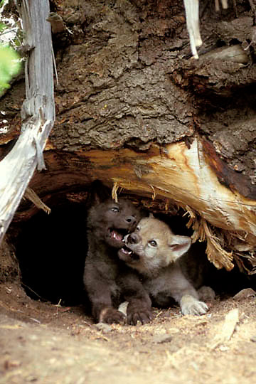 Gray Wolf, (Canis lupus) Pups playing at entrance to den. Summer.  Captive Animal.