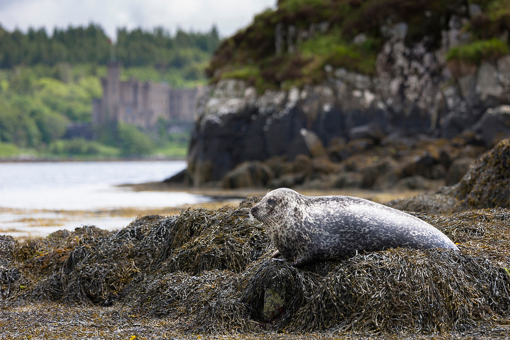 Common Seal or Harbour Seal, Phoca vitulina, adult basking on rocks and seaweed by Dunvegan Castle and Loch, Isle of Skye, Western Scotland
