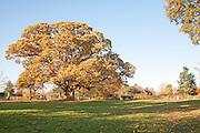 Orange brown sweet chestnut  tree, Castanea saliva, autumn leaves Woodborough, Wiltshire, England, UK