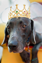 31 January 2016. New Orleans, Louisiana.<br /> Mardi Gras Dog Parade. King of Barkus, Alex the Weimarana. The Mystic Krewe of Barkus winds its way around the French Quarter with dogs and their owners dressed up for this year's theme, 'From the Doghouse to the Whitehouse.' <br /> Photo©; Charlie Varley/varleypix.com