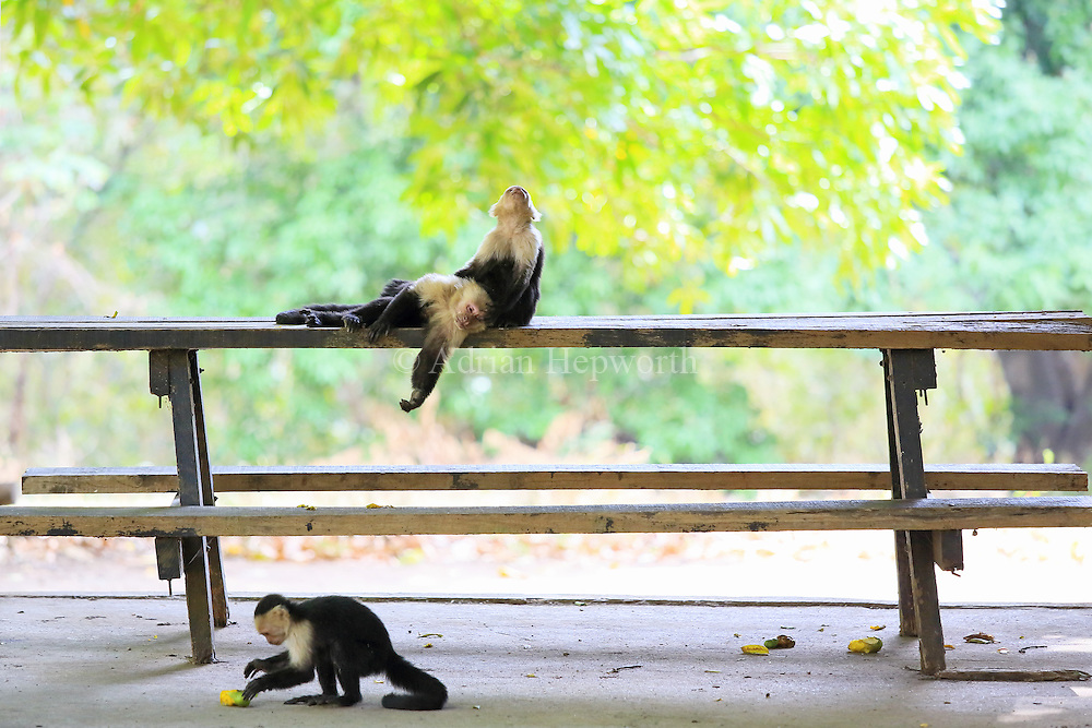 White-faced capuchin monkeys (cebus capucinus) resting on a picnic table. Palo Verde National Park, Guanacaste, Costa Rica.