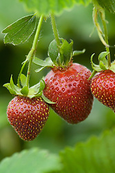 Strawberry 'Florence' - Fragaria
