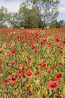 Indian Blanket, (Gaillardia pulchella), Llano County, Texas