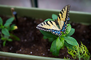The new butterfly garden at the Holifield Science Learning Center in Plano incorporates butterflies collected from their property into education on the life cycle for Plano ISD students on Wednesday, April 10, 2013. (Cooper Neill/The Dallas Morning News)