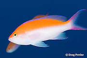 bicolor anthias, Pseudanthias bicolor, male, Honokohau, Kona, Hawaii Island ( the Big Island ), Hawaii, USA ( Central Pacific Ocean )