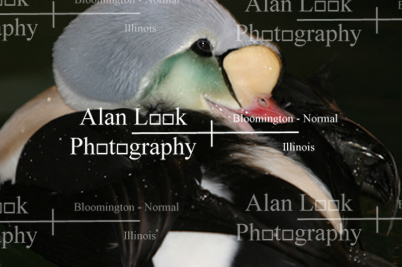 Male King Eider (Photo by Alan Look)