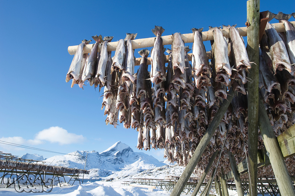 Fish hang on drying rack in Norwegian fishery