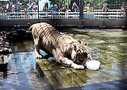WUHAN, CHINA - AUGUST 06: (CHINA OUT) <br /> <br /> To Keep Cool For Animals During Heat Wave<br /> <br /> A tiger enjoys a block of ice to beat the heat at Qingdao zoo on August 5, 2013 in Qingdao, Shandong Province of China. <br /> ©exclusivepix